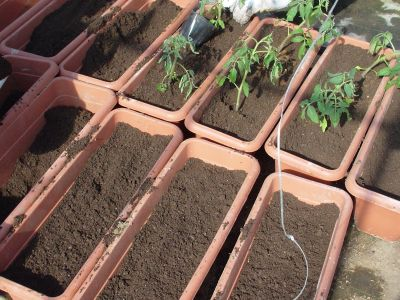 トマト苗植え