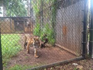 ホノルル動物園 トラ