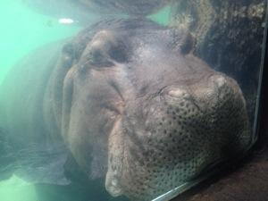 ホノルル動物園 カバ